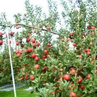 本田りんご園