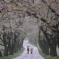 赤城南面千本桜(あかぎなんめんせんぼんざくら)