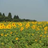 山本山ひまわり畑