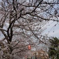 元荒川の桜堤 の写真 (2)