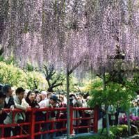 亀戸天神社 の写真 (1)