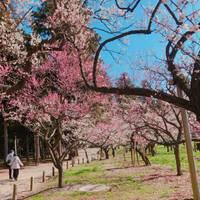 mayn♪*さんが撮った 偕楽園(かいらくえん) の写真