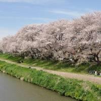 元荒川の桜堤